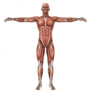 muscles, bones, and how they come into play with your strength training